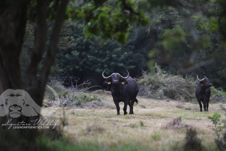 Buffalo at Woody Cape Wildlife