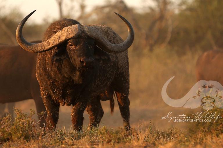 Mkhulu  (Kwandwe Signature Wildlife)